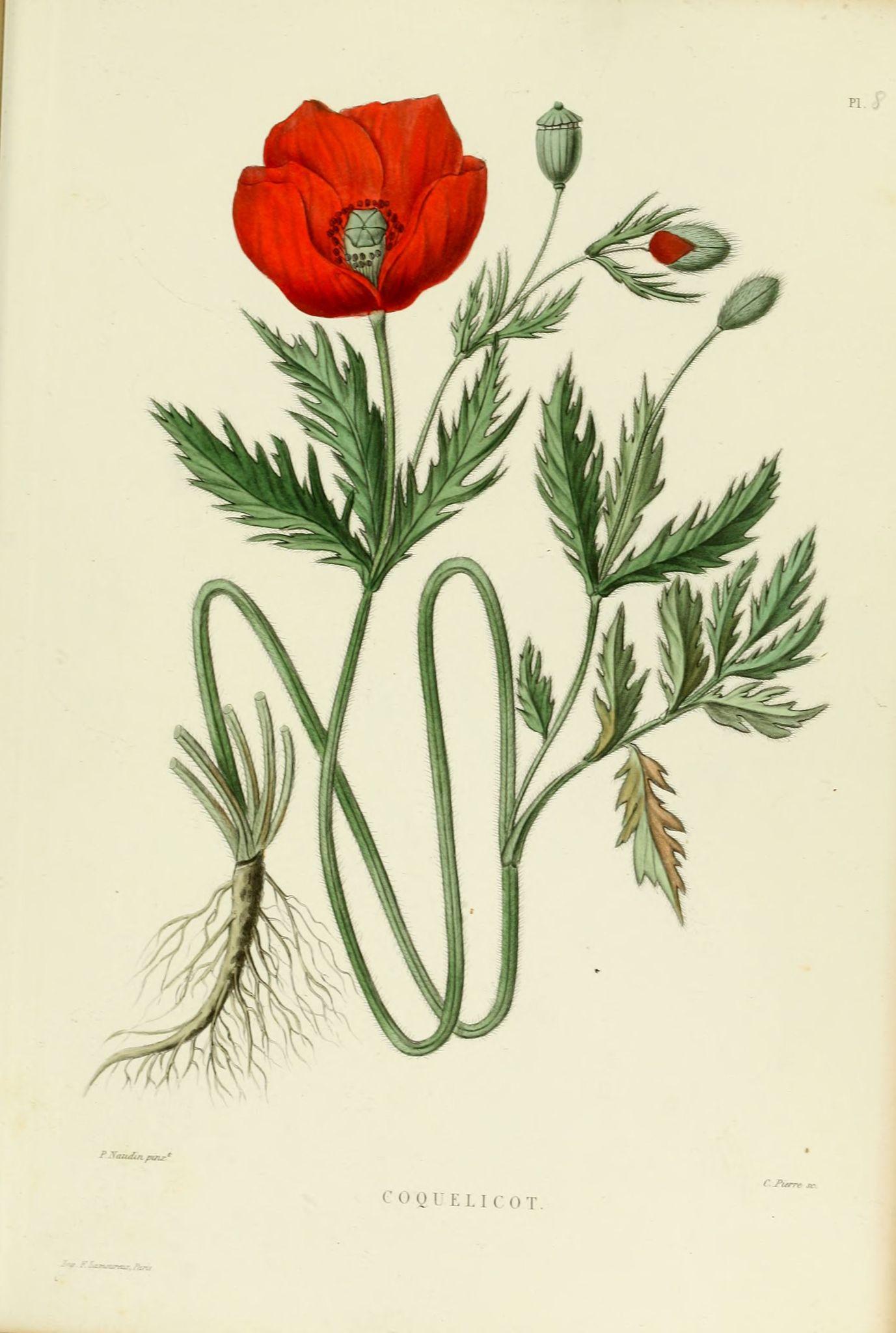 poppy flower scientific drawing