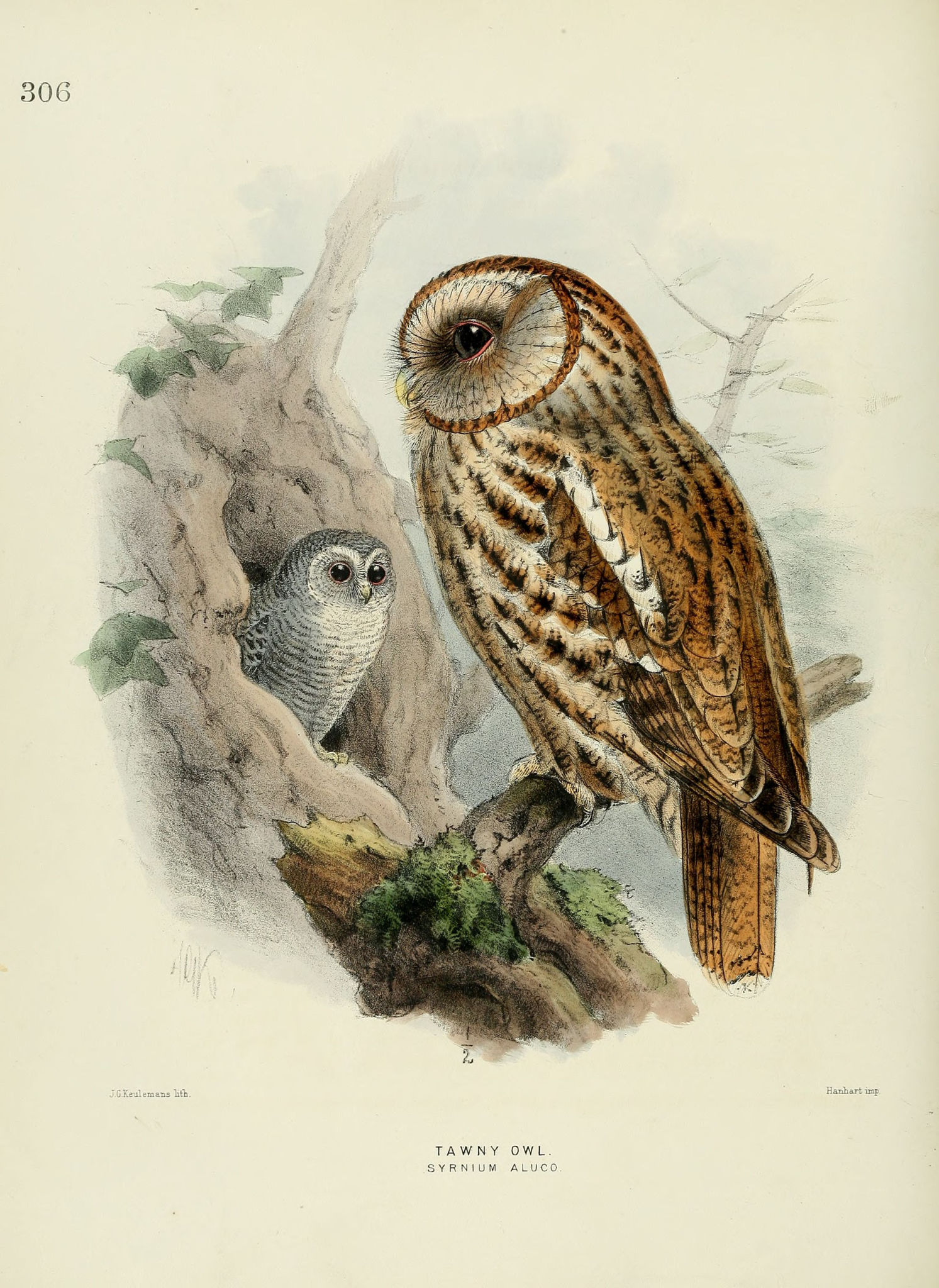 Gravures Oiseaux Europe Chouette Hulotte Tawny Owl
