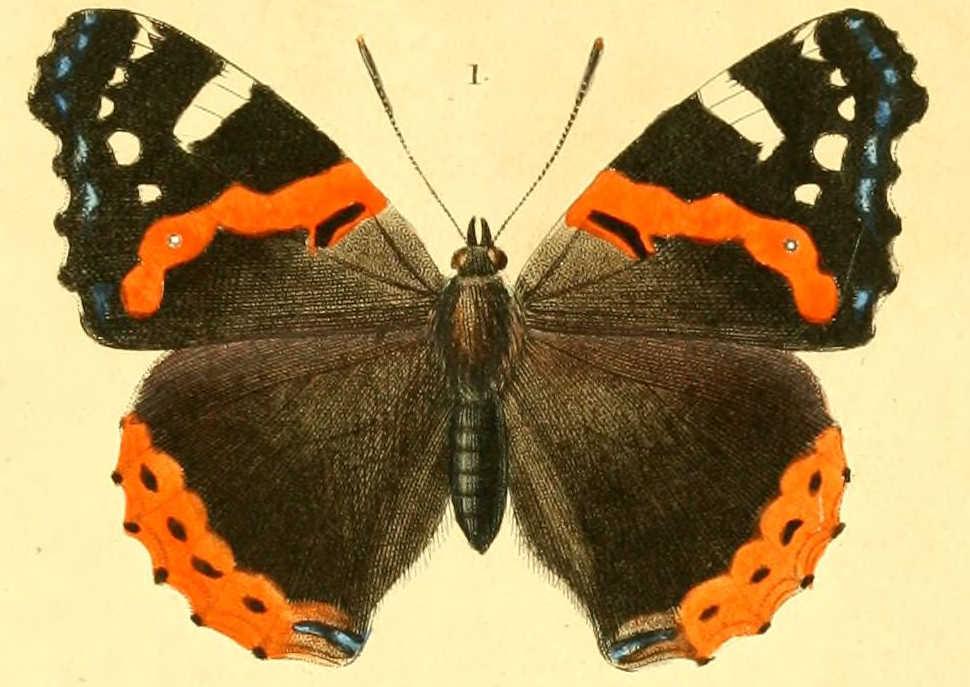 img/dessins papillon diurnes/vanesse vulcain - vanessa atalanta.jpg