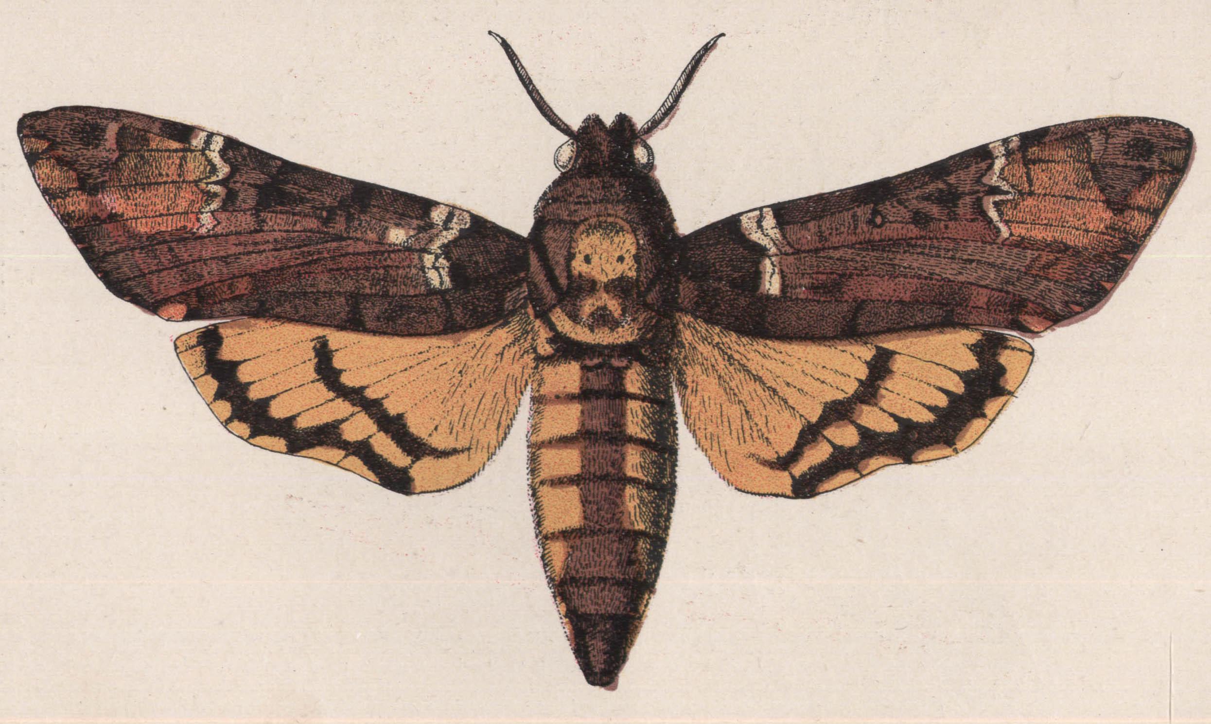 Dessins De Papillons Sphinx Tête De Mort