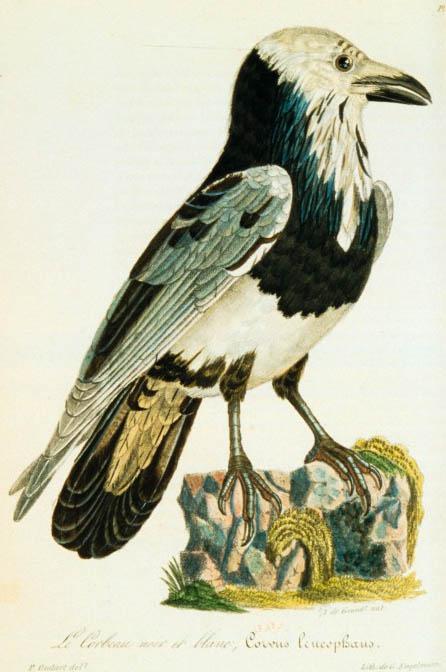 Dessins Oiseaux Corbeau Noir Et Blanc Corvus Leucophaeus