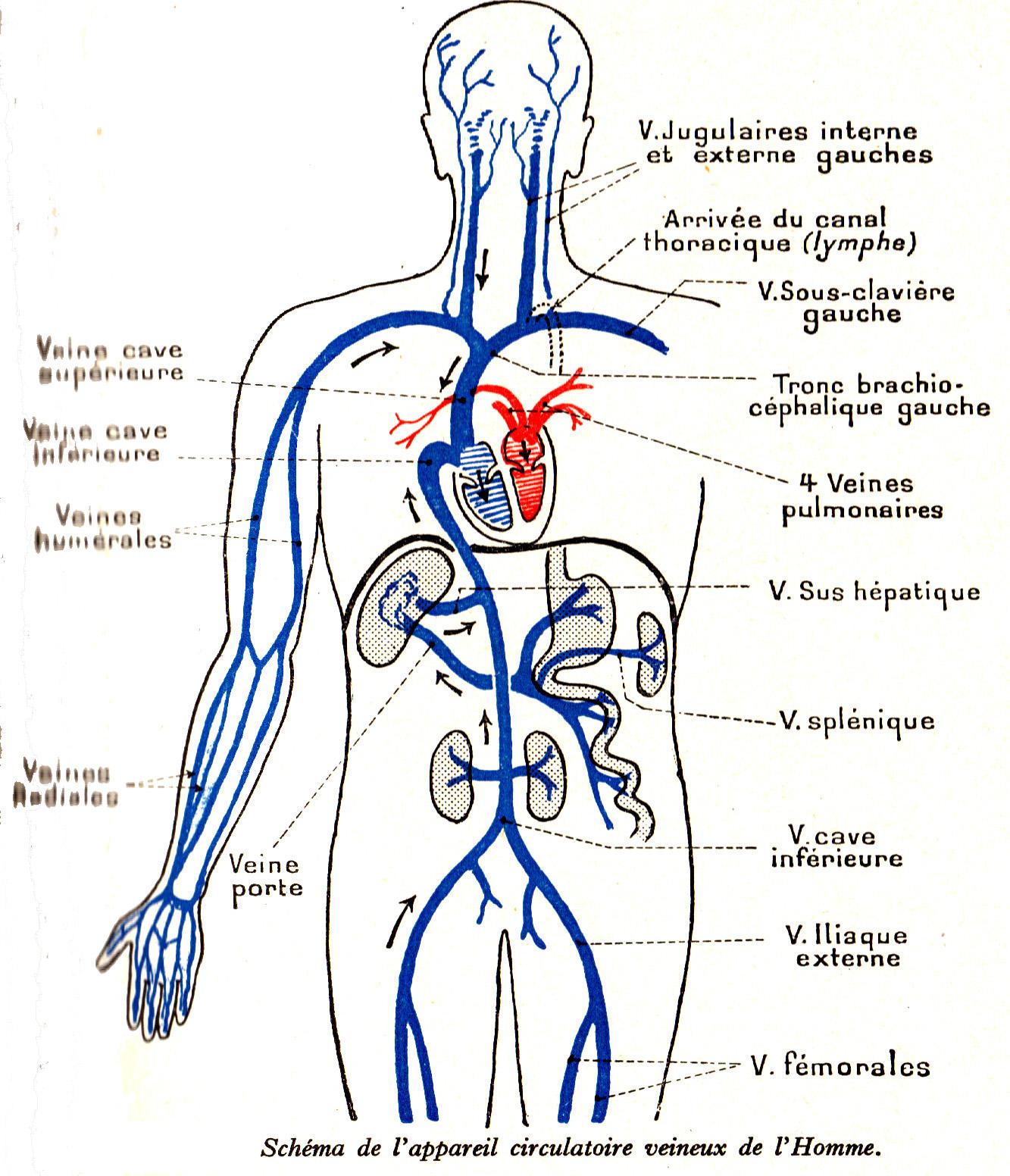 Schön Virtuelle Anatomie Dissektion Bilder - Menschliche Anatomie ...