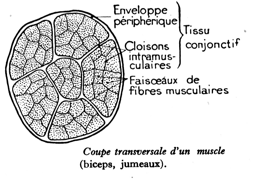 anatomie humaine des muscles