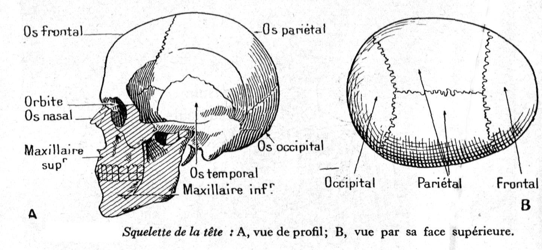 Dessin Anatomie Humaine : Squelette De La Tête De L Homme