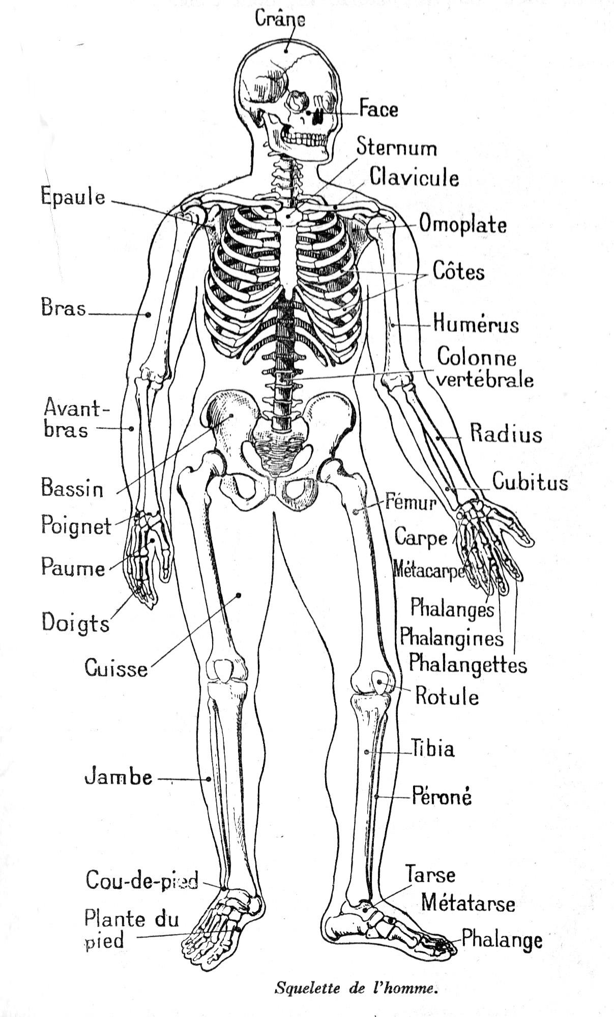 Dessin De Pied Humain dessin anatomie de l homme : squelette homme