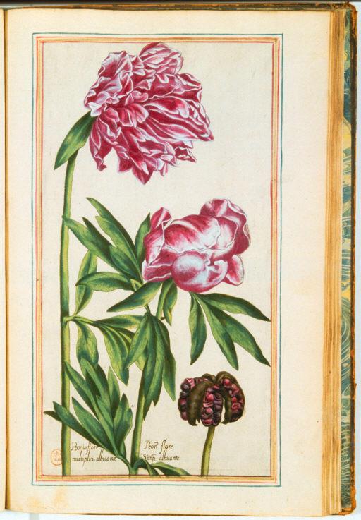 Pivoine Jpg Gravures Anciennes De Fleurs En Couleur