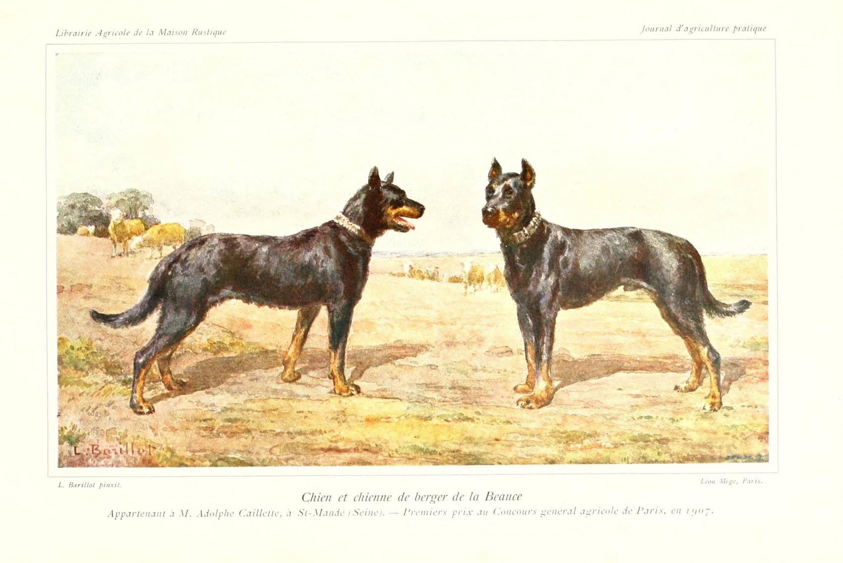 Chien et Chienne de berger de la beauce premier prix concours general agricole de paris 1907